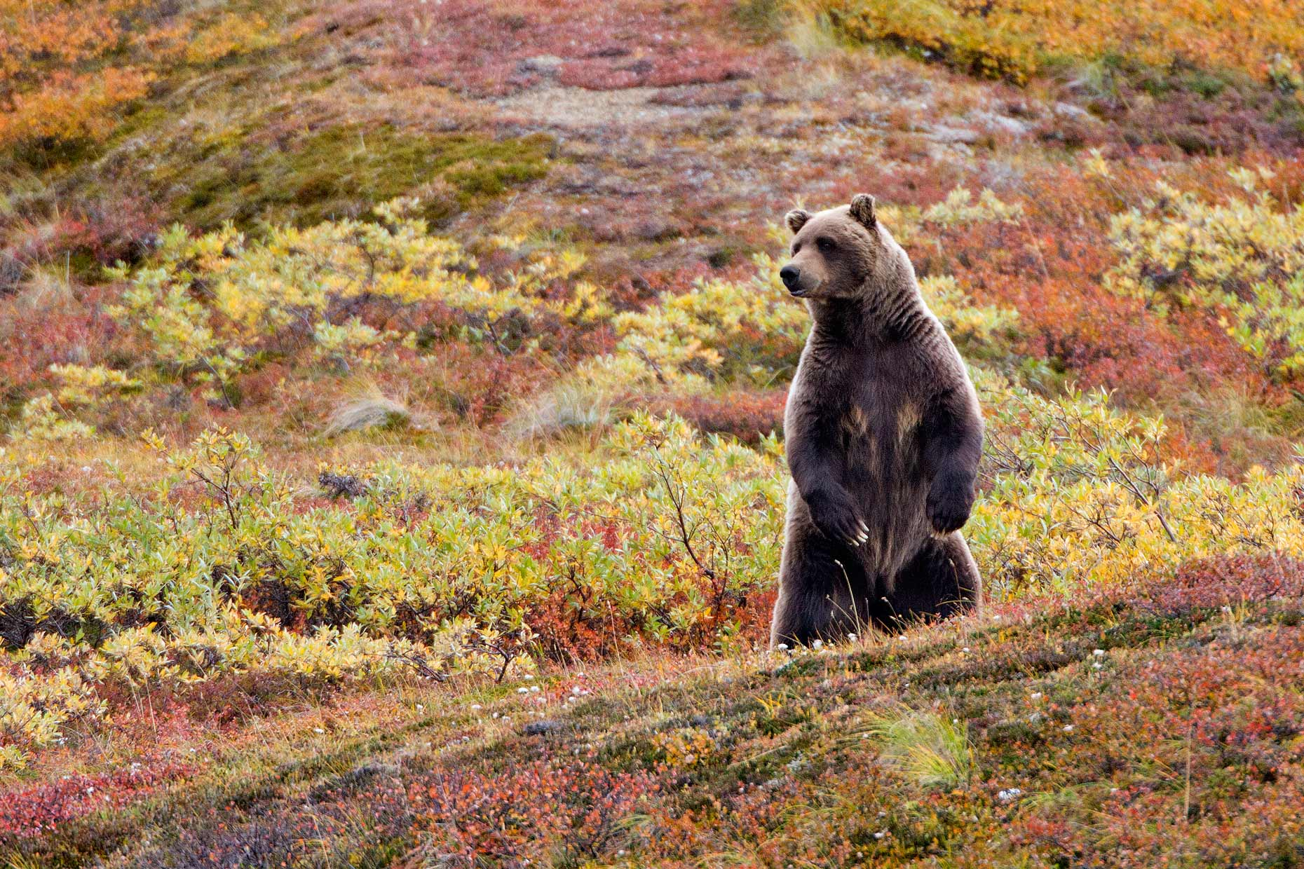 brown-bear-searching-landscape